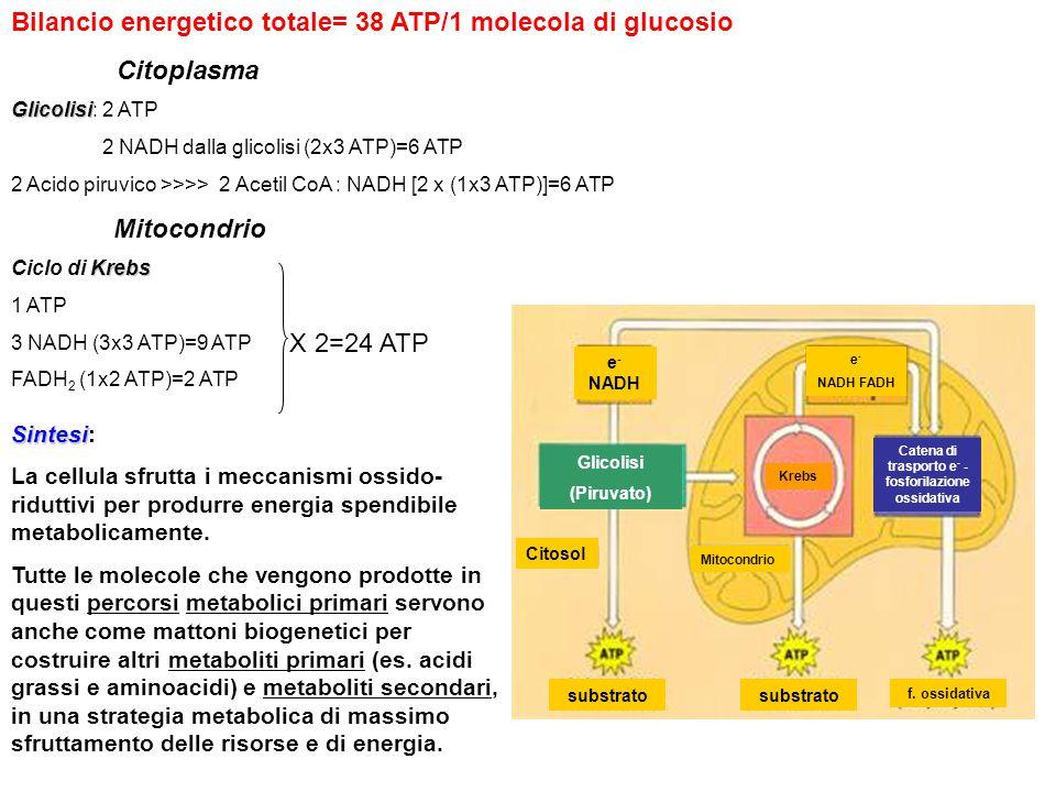 Citoplasma Glicolisi Glicolisi: 2 ATP 2 NADH dalla glicolisi (2x3 ATP)=6 ATP 2 Acido piruvico >>>> 2 Acetil CoA : NADH [2 x (1x3 ATP)]=6 ATP Mitocondr