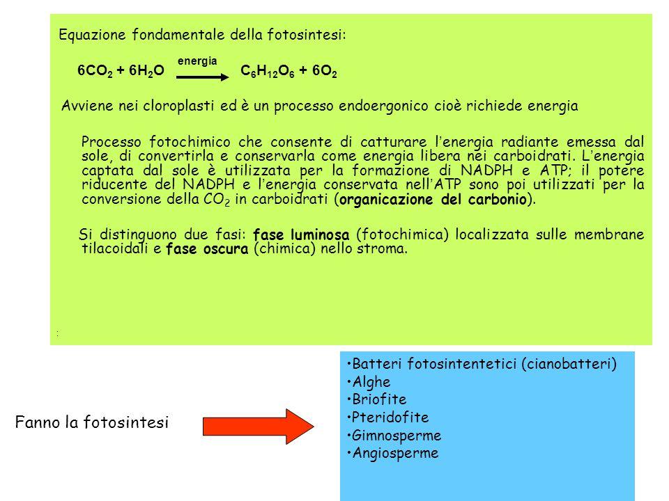 Equazione fondamentale della fotosintesi: 6CO 2 + 6H 2 O C 6 H 12 O 6 + 6O 2 Avviene nei cloroplasti ed è un processo endoergonico cioè richiede energ
