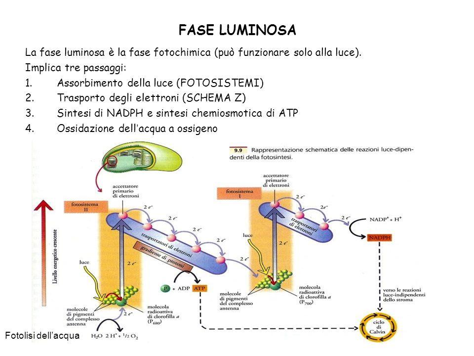 FASE LUMINOSA La fase luminosa è la fase fotochimica (può funzionare solo alla luce). Implica tre passaggi: 1.Assorbimento della luce (FOTOSISTEMI) 2.