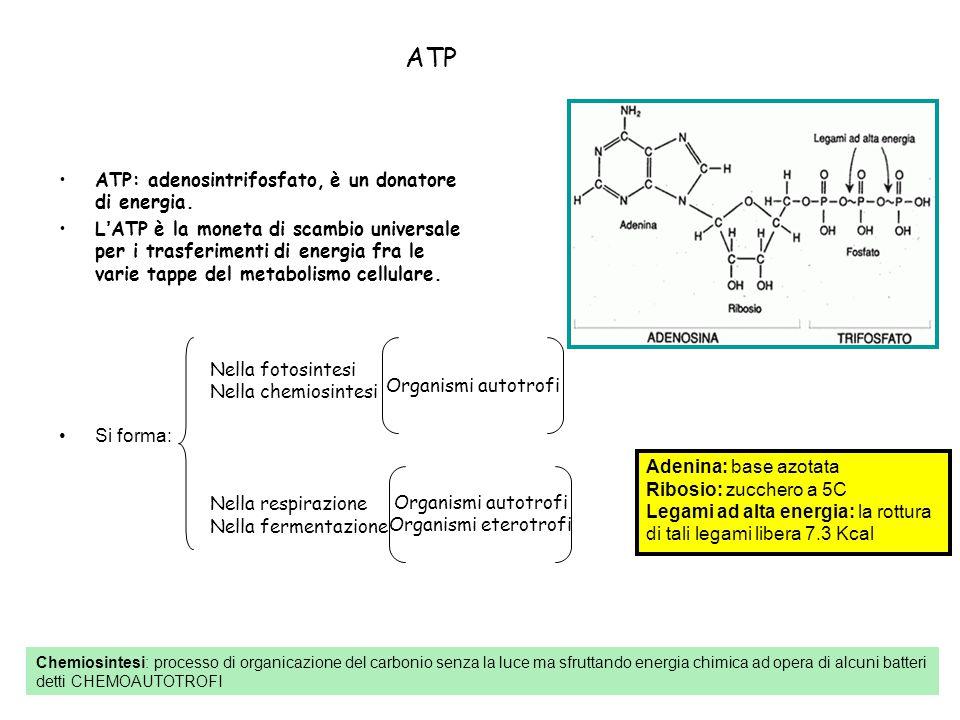 ATP ATP: adenosintrifosfato, è un donatore di energia. L'ATP è la moneta di scambio universale per i trasferimenti di energia fra le varie tappe del m