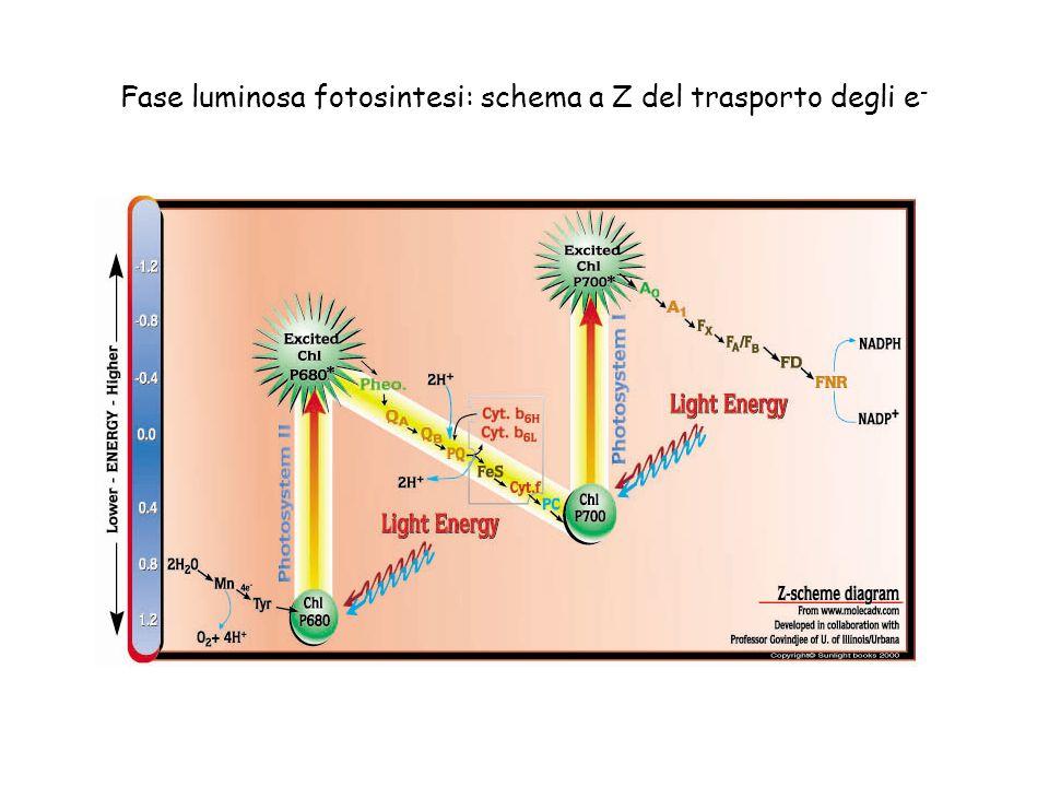 Fase luminosa fotosintesi: schema a Z del trasporto degli e -