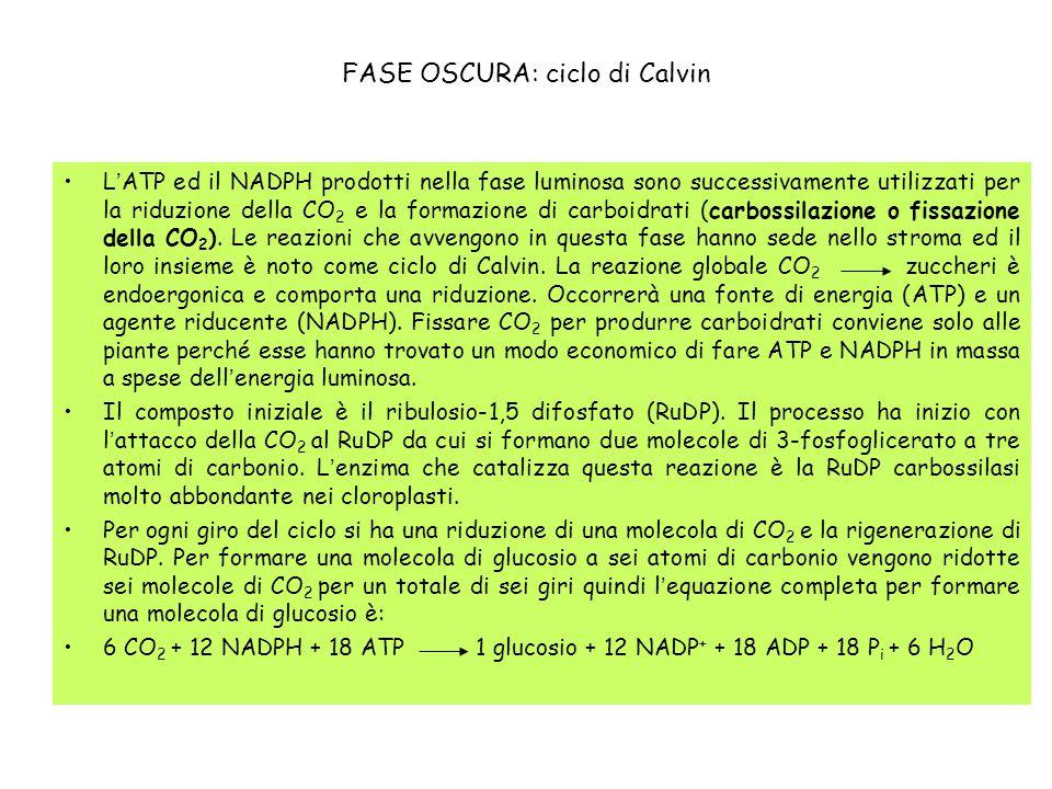 FASE OSCURA: ciclo di Calvin L'ATP ed il NADPH prodotti nella fase luminosa sono successivamente utilizzati per la riduzione della CO 2 e la formazion