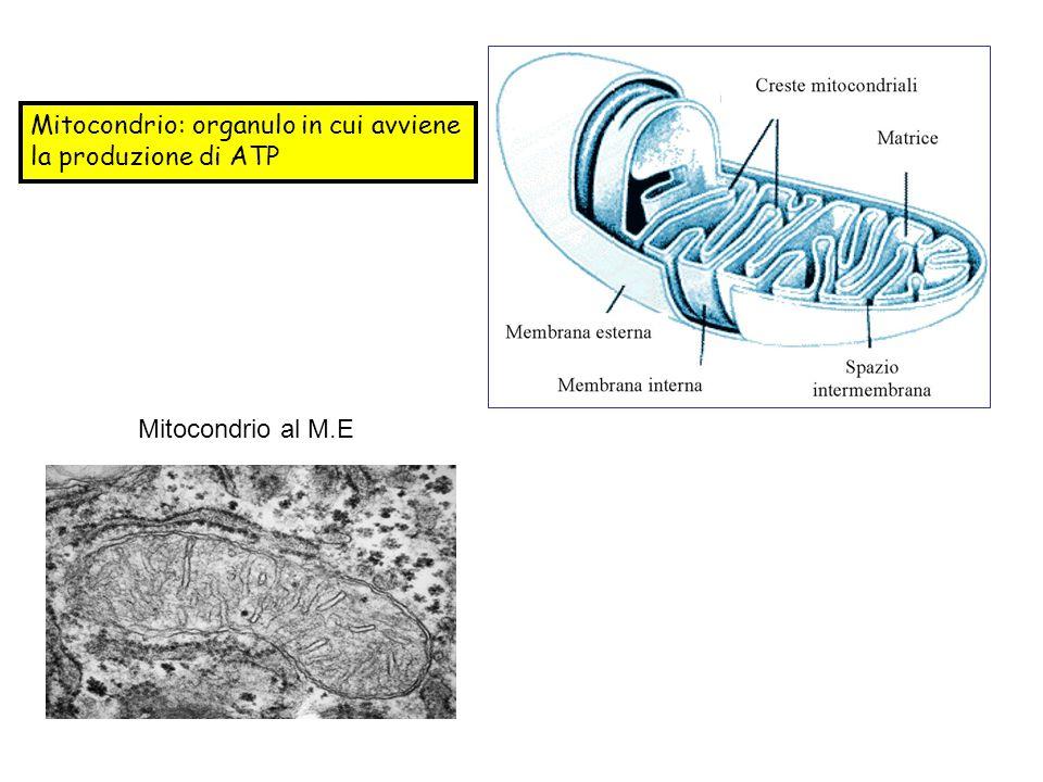 Teoria chemiosmotica: Durante il trasporto di e -, H + vengono estrusi nello spazio perimitocondriale.
