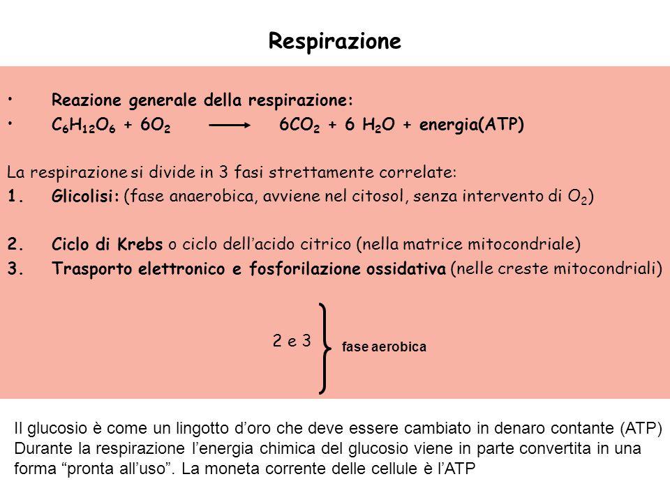Respirazione Reazione generale della respirazione: C 6 H 12 O 6 + 6O 2 6CO 2 + 6 H 2 O + energia(ATP) La respirazione si divide in 3 fasi strettamente