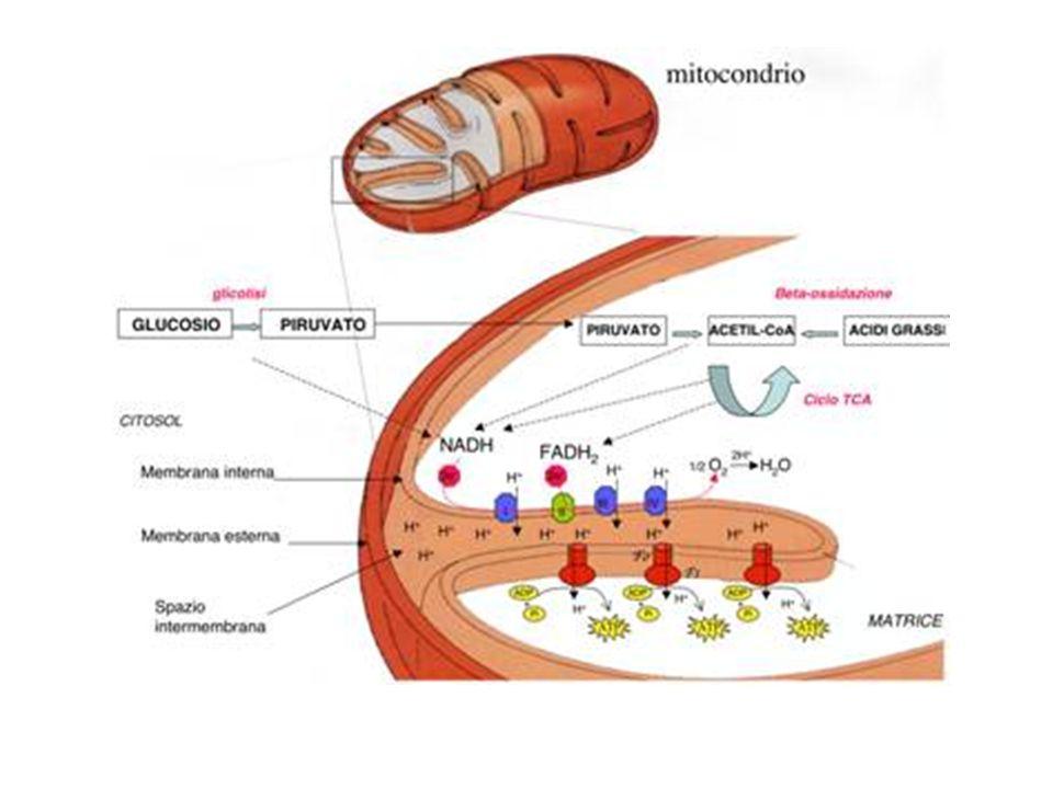 Dei materiali utilizzati nel metabolismo, alcuni sono composti strutturali, presenti nelle membrane cellulari (proteine, polisaccaridi, fosfolipidi); altri fanno parte delle riserve energetiche (glicogeno e trigliceridi).