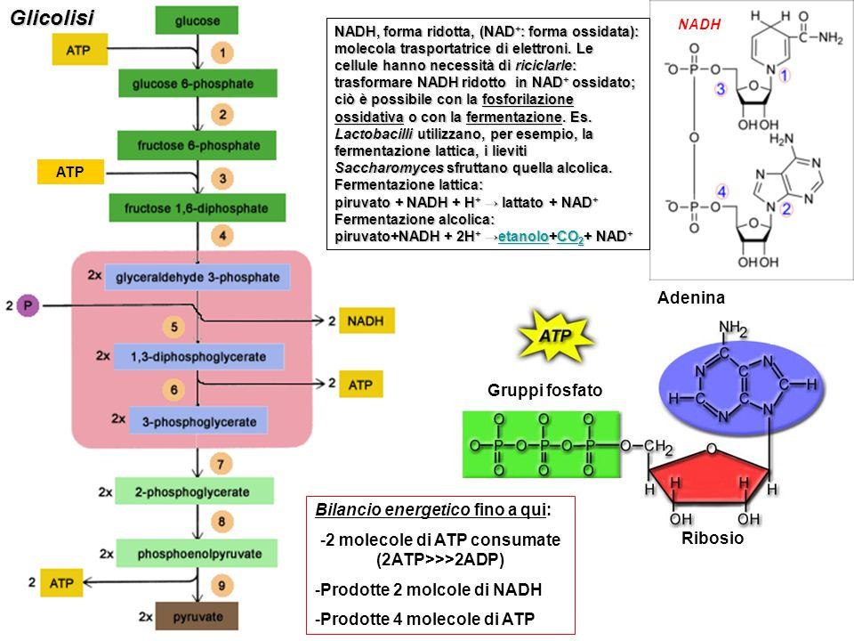 ATPGlicolisi Ribosio Adenina Gruppi fosfato NADH, forma ridotta, (NAD + : forma ossidata): molecola trasportatrice di elettroni. Le cellule hanno nece