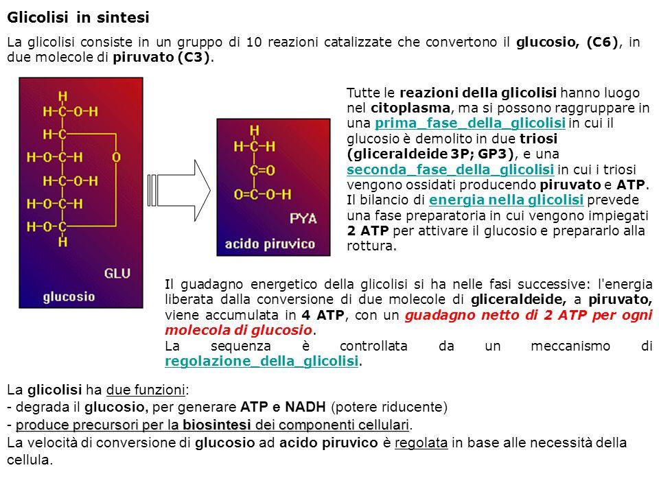 Glicolisi in sintesi La glicolisi consiste in un gruppo di 10 reazioni catalizzate che convertono il glucosio, (C6), in due molecole di piruvato (C3).