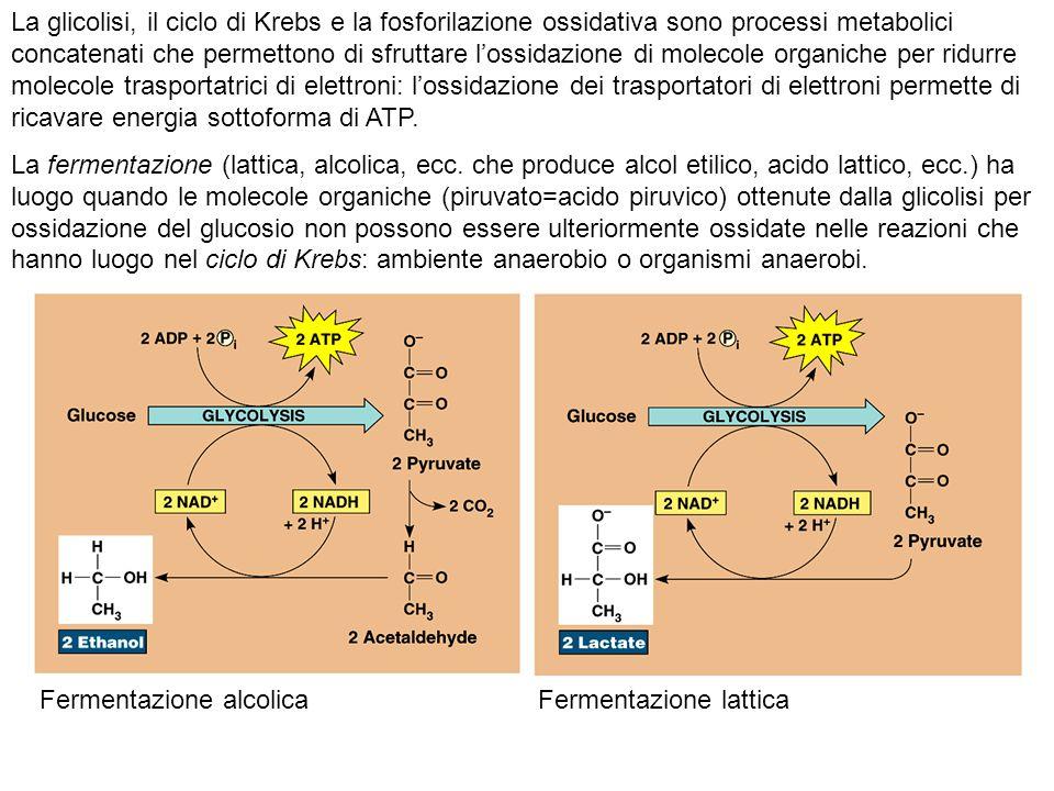 Quando invece il piruvato (C3) può essere ulteriormente ossidato, entra come Acetil Coenzima A (C2) nel ciclo di Krebs Ciclo di Krebs Sintesi degli acidi grassi (β ossidazione) Sintesi Nel primo stadio, detto glicolisi, che può avvenire in assenza di ossigeno, il glucosio è ossidato (subisce riduzione del numero di e - ) per produrre gruppi acetilici dell acetil-Coenzima A.glicolisi La glicolisi avviene in tutti gli organismi ed è indifferente alla presenza di ossigeno.