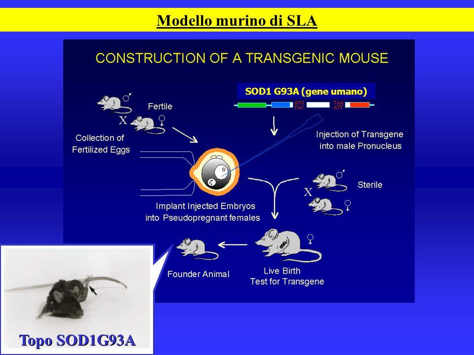 Modello murino di SLA SOD1 G93A (gene umano) Topo SOD1G93A