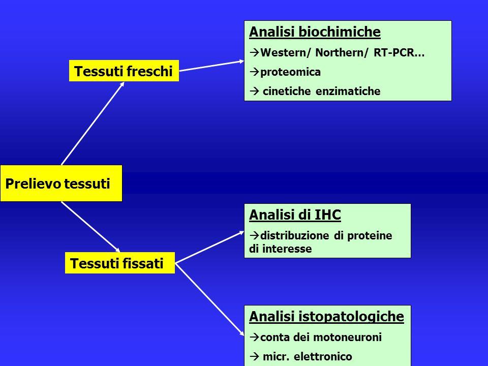 Tessuti fissati Tessuti freschi Analisi biochimiche  Western/ Northern/ RT-PCR…  proteomica  cinetiche enzimatiche Analisi istopatologiche  conta