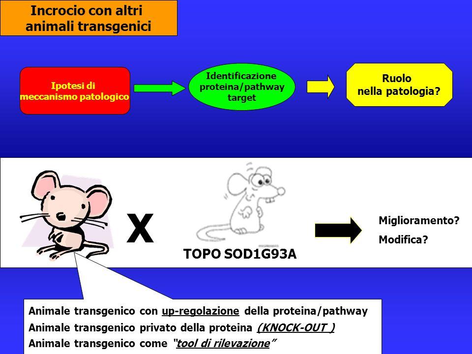 Incrocio con altri animali transgenici Ipotesi di meccanismo patologico Identificazione proteina/pathway target Ruolo nella patologia? X Miglioramento
