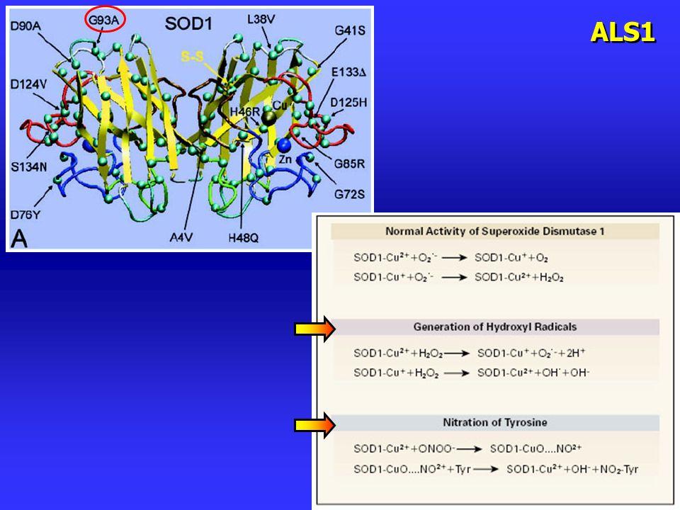 Comparsa di vacuoli e mitocondri con struttura alterata nei motoneuroni dei topi SOD1G93A, già a tempi precoci Bendotti et al., J.Neur.Sc.