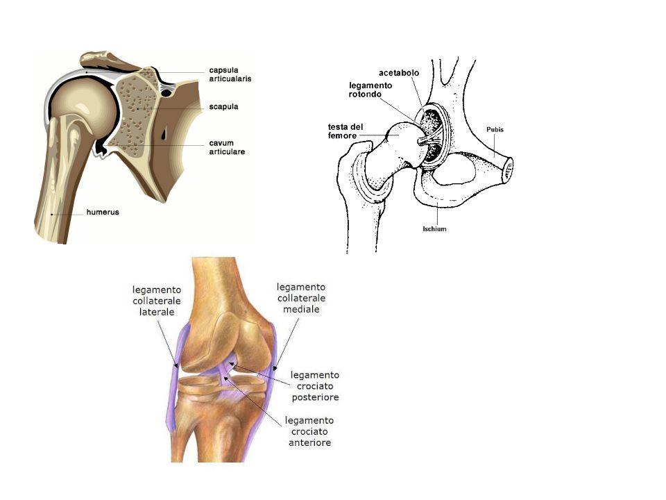 LE ARTICOLAZIONI SI DISTORCONO… DISTORSIONE= lesione di un'articolazione per spostamento temporaneo dei capi ossei e ritorno spontaneo degli stessi al loro posto in seguito a movimento forzato