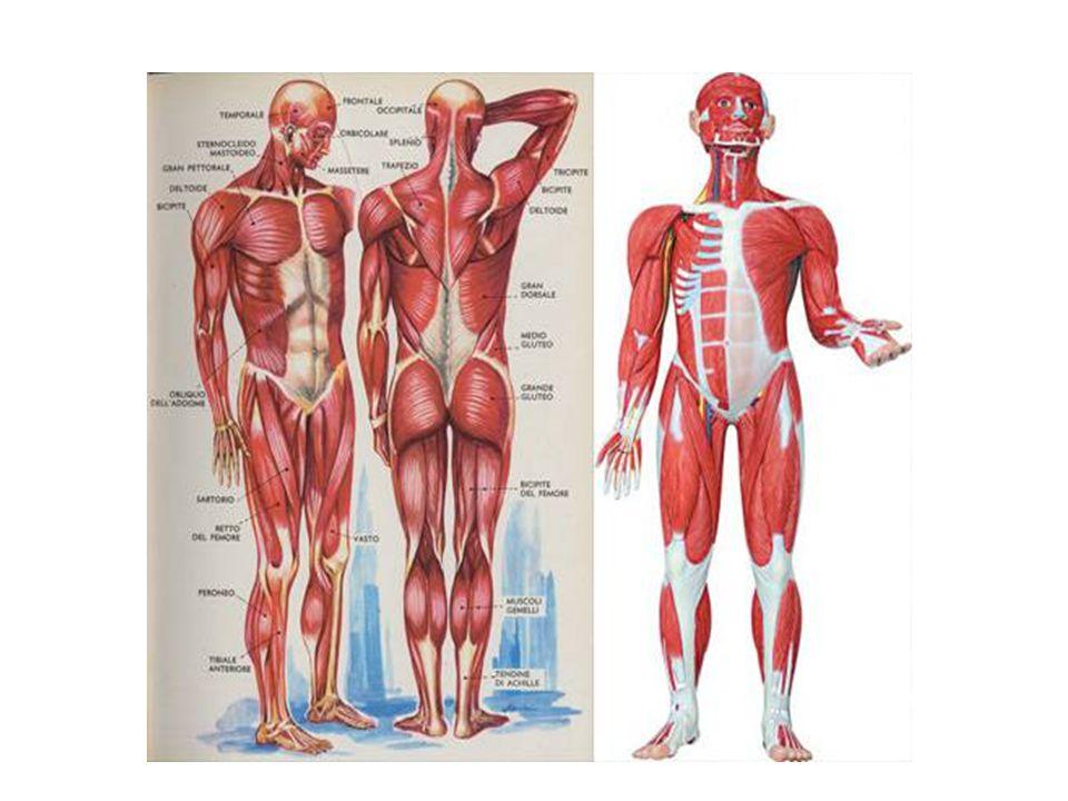 ….SI LUSSANO LUSSAZIONE: spostamento permanente dei capi ossei articolari