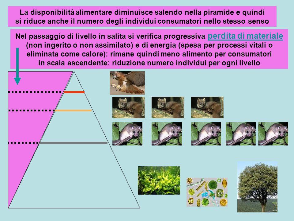 La disponibilità alimentare diminuisce salendo nella piramide e quindi si riduce anche il numero degli individui consumatori nello stesso senso Nel pa