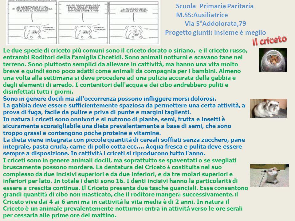 Scuola Primaria Paritaria M.SS:Ausiliatrice Le due specie di criceto più comuni sono il criceto dorato o siriano, e il criceto russo, entrambi Roditor