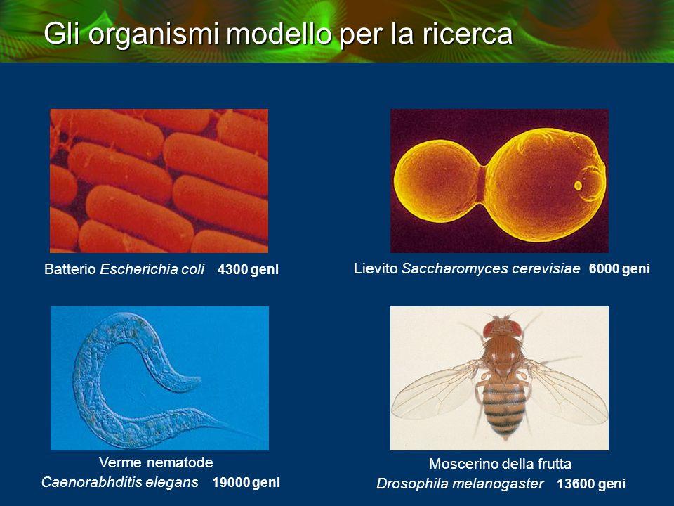 Gli organismi modello per la ricerca Batterio Escherichia coli 4300 geni Lievito Saccharomyces cerevisiae 6000 geni Verme nematode Caenorabhditis elegans 19000 geni Moscerino della frutta Drosophila melanogaster 13600 geni