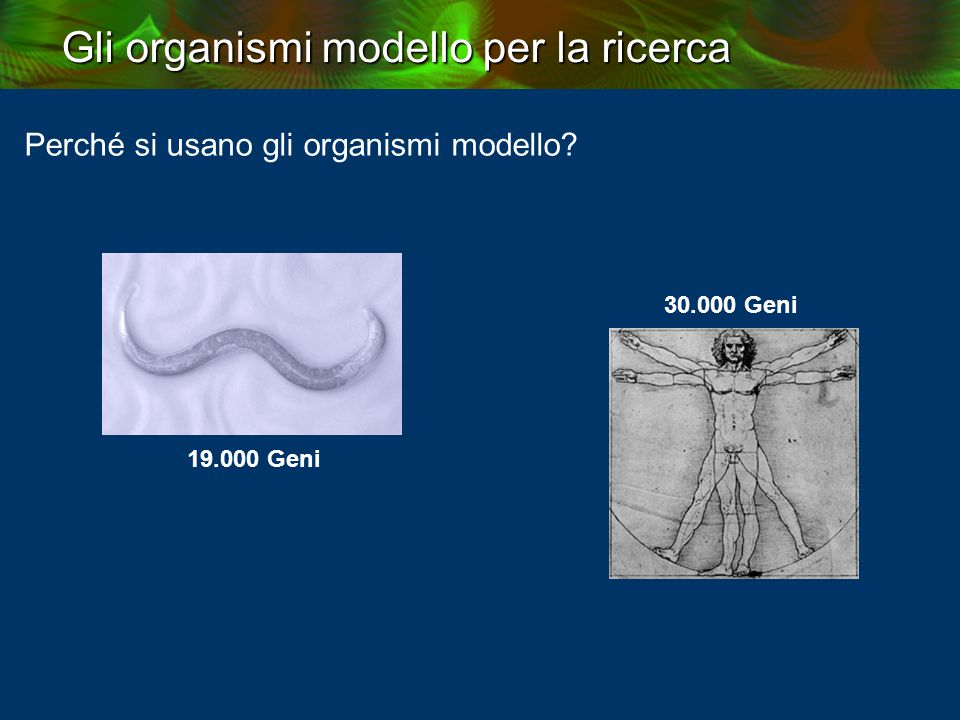 Gli organismi modello per la ricerca Deuterostomia (vertebrates, echinoderms, tunicates, etc.) Ecdysozoa Arthropoda (insects, spiders, crabs, etc.) Onychophora (velvet worms) Tardigrada (water bears) Nematoda (roundworms) Nematomorpha (horsehair worms) Kinorhyncha Loricifera Priapulida (penis worm) fish, mouse, human fly worm Distanze filogenetiche fra gli animali from: http://tolweb.org/tree