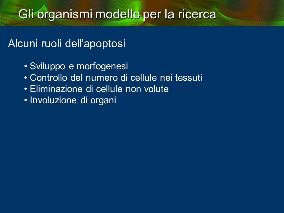 Gli organismi modello per la ricerca Alcuni ruoli dell'apoptosi Sviluppo e morfogenesi Controllo del numero di cellule nei tessuti Eliminazione di cellule non volute Involuzione di organi