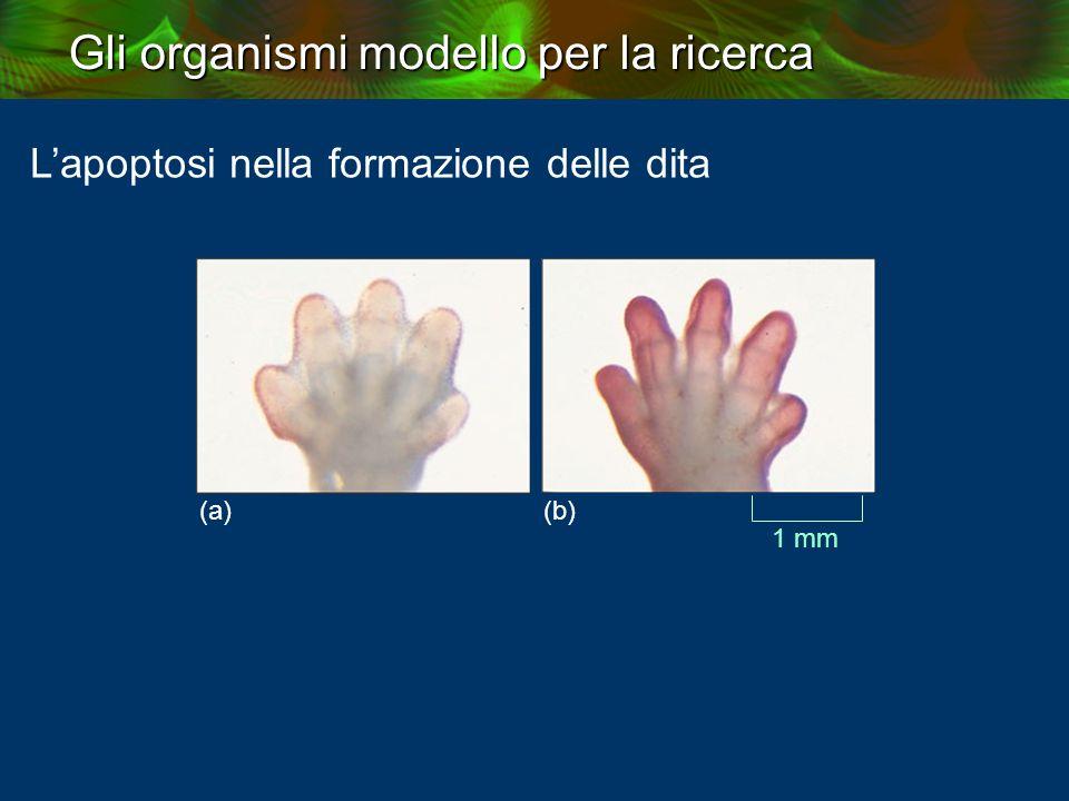 Gli organismi modello per la ricerca L'apoptosi nella formazione delle dita (a) (b) 1 mm