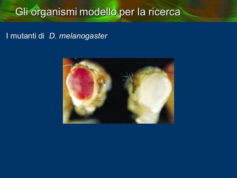 Gli organismi modello per la ricerca I mutanti di D. melanogaster