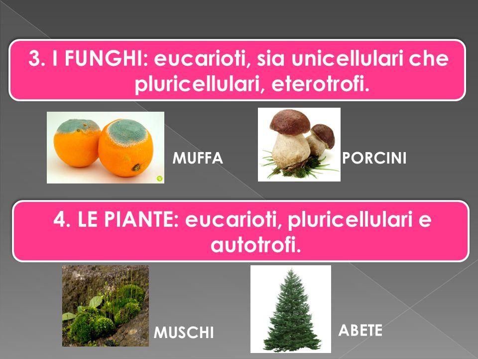 3. I FUNGHI: eucarioti, sia unicellulari che pluricellulari, eterotrofi. 4. LE PIANTE: eucarioti, pluricellulari e autotrofi. MUSCHI ABETE MUFFAPORCIN