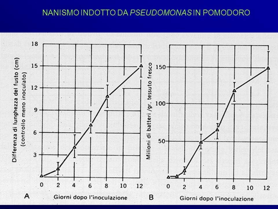 NANISMO INDOTTO DA PSEUDOMONAS IN POMODORO