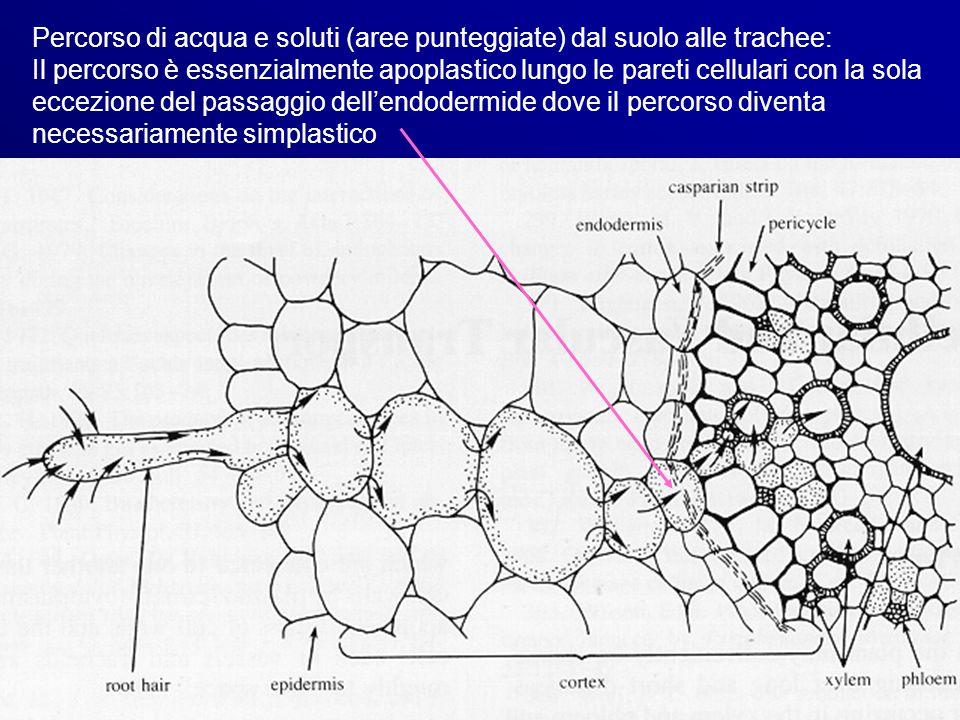 Percorso di acqua e soluti (aree punteggiate) dal suolo alle trachee: Il percorso è essenzialmente apoplastico lungo le pareti cellulari con la sola eccezione del passaggio dell'endodermide dove il percorso diventa necessariamente simplastico