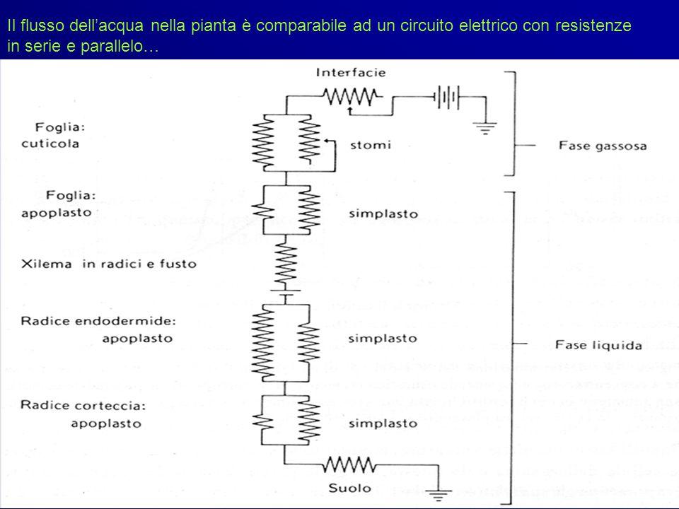 Il flusso dell'acqua nella pianta è comparabile ad un circuito elettrico con resistenze in serie e parallelo…