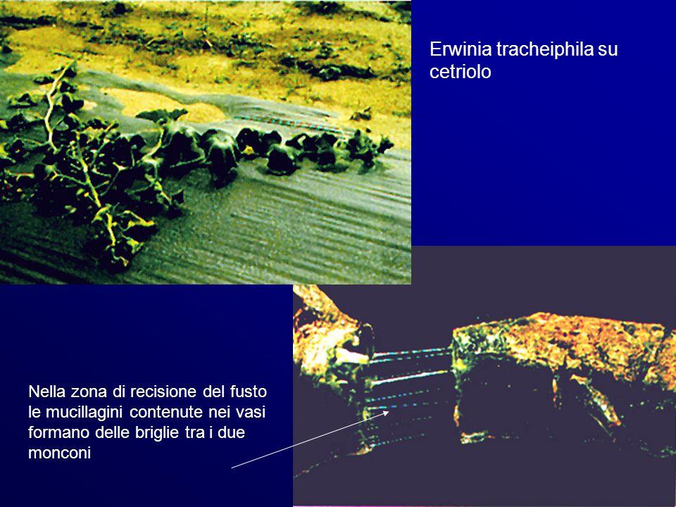 Erwinia tracheiphila su cetriolo Nella zona di recisione del fusto le mucillagini contenute nei vasi formano delle briglie tra i due monconi