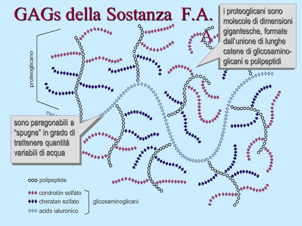 GAGs della Sostanza F.A. GAGs della Sostanza F.A. A i proteoglicani sono molecole di dimensioni gigantesche, formate dall'unione di lunghe catene di g