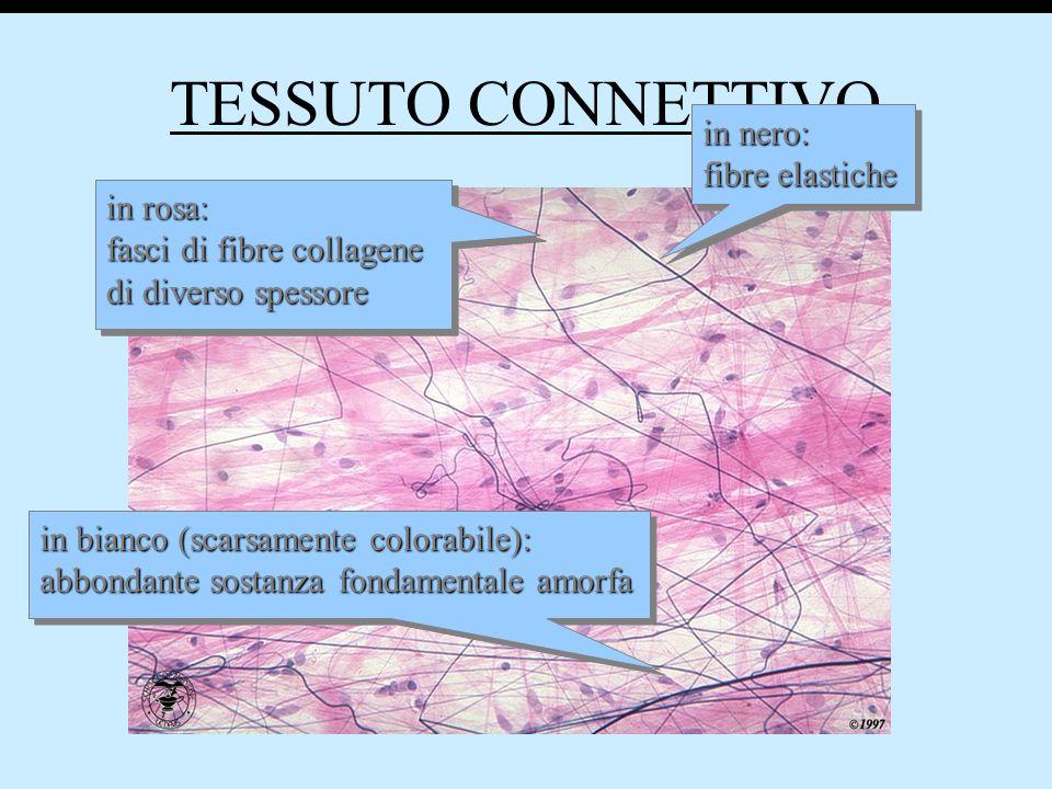 TESSUTO CONNETTIVO in rosa: fasci di fibre collagene di diverso spessore in rosa: fasci di fibre collagene di diverso spessore in bianco (scarsamente colorabile): abbondante sostanza fondamentale amorfa in bianco (scarsamente colorabile): abbondante sostanza fondamentale amorfa in nero: fibre elastiche in nero: fibre elastiche in rosa: fasci di fibre collagene di diverso spessore in rosa: fasci di fibre collagene di diverso spessore