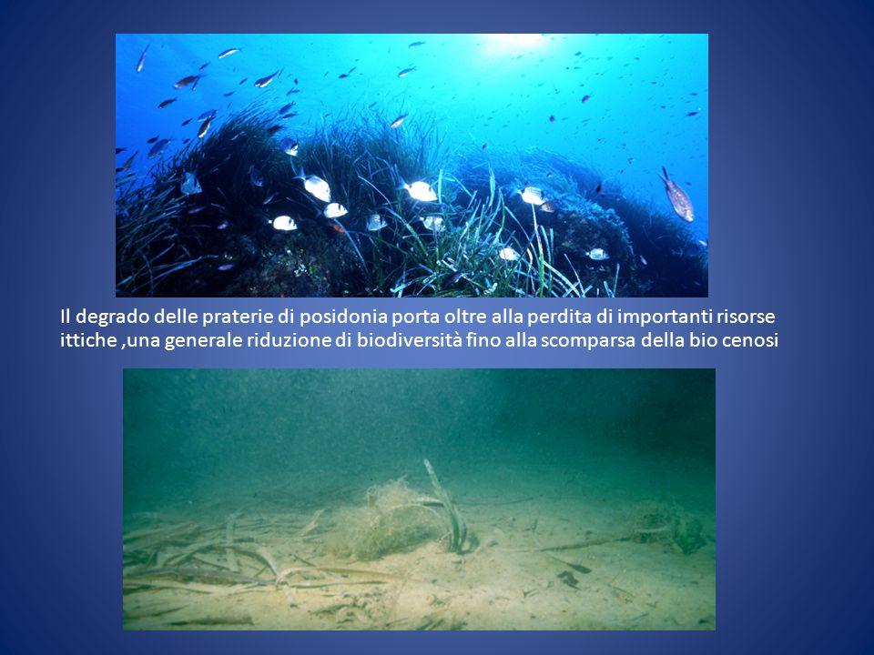 Il degrado delle praterie di posidonia porta oltre alla perdita di importanti risorse ittiche,una generale riduzione di biodiversità fino alla scompar
