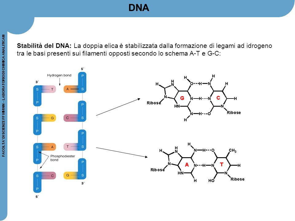 FACOLTA' DI SCIENZE FF MM NN – LABORATORIO DI CHIMICA ANALITICAIII IBRIDAZIONE DI ACIDI NUCLEICI IN VIVO: alla base dei processi di riconoscimento molecolare IN VITRO: l'ibridazione di sequenze target con sonde oligonucleotidiche è l'approccio tipico per l'identificazione e l'isolamento di acidi nucleici Denaturazione del DNA target con trattamento termico per rompere i legami H Mix frammenti sonda + target per far avvenire l'appaiamento di sequenze complementari