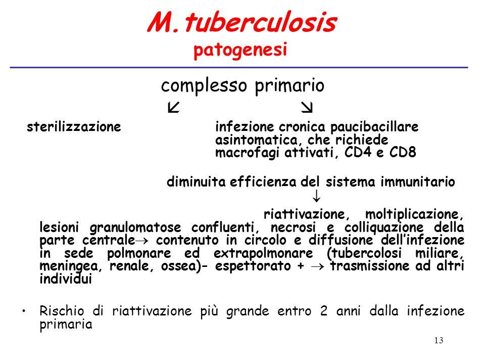 13 M.tuberculosis patogenesi complesso primario   sterilizzazioneinfezione cronica paucibacillare asintomatica, che richiede macrofagi attivati, CD4