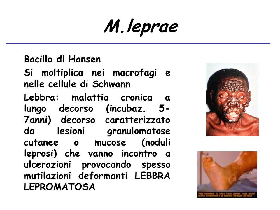 40 M.leprae Bacillo di Hansen Si moltiplica nei macrofagi e nelle cellule di Schwann Lebbra: malattia cronica a lungo decorso (incubaz. 5- 7anni) deco