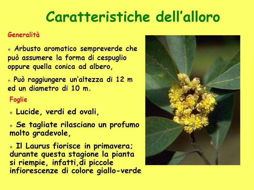 Caratteristiche dell'alloro Generalità  Arbusto aromatico sempreverde che può assumere la forma di cespuglio oppure quella conica ad albero,  Può raggiungere un'altezza di 12 m ed un diametro di 10 m.