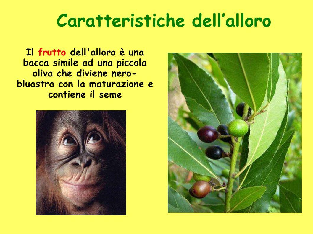 Caratteristiche dell'alloro Il frutto dell'alloro è una bacca simile ad una piccola oliva che diviene nero- bluastra con la maturazione e contiene il