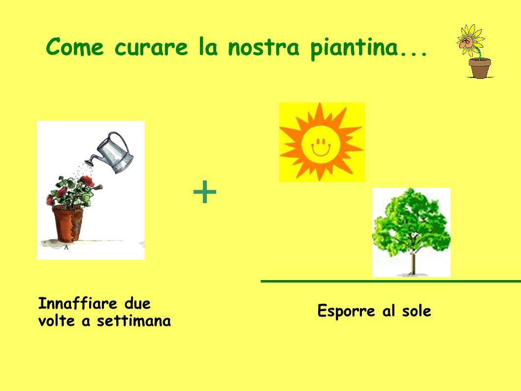 Come curare la nostra piantina... Innaffiare due volte a settimana Esporre al sole