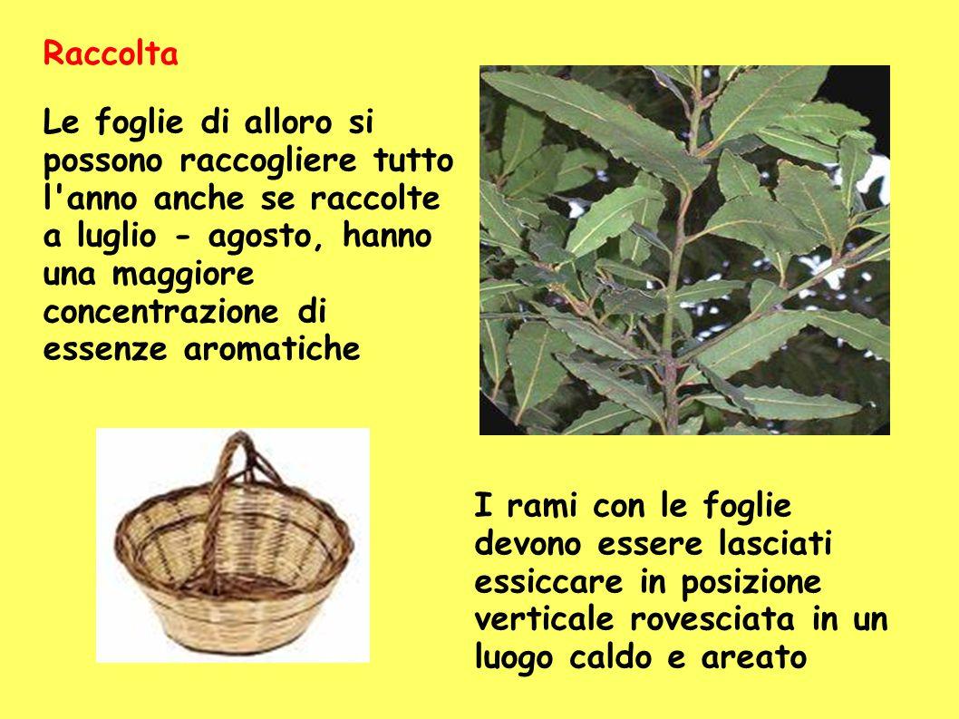 Le foglie di alloro si possono raccogliere tutto l'anno anche se raccolte a luglio - agosto, hanno una maggiore concentrazione di essenze aromatiche I