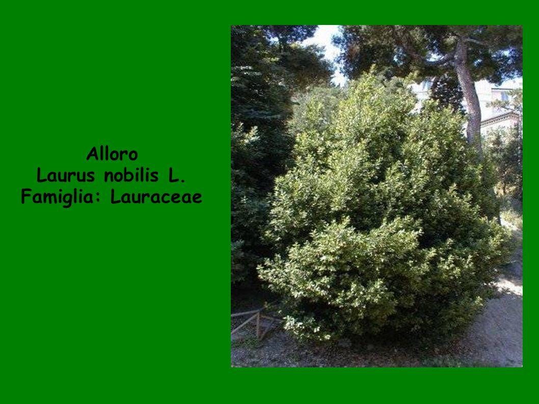 Alloro Laurus nobilis L. Famiglia: Lauraceae