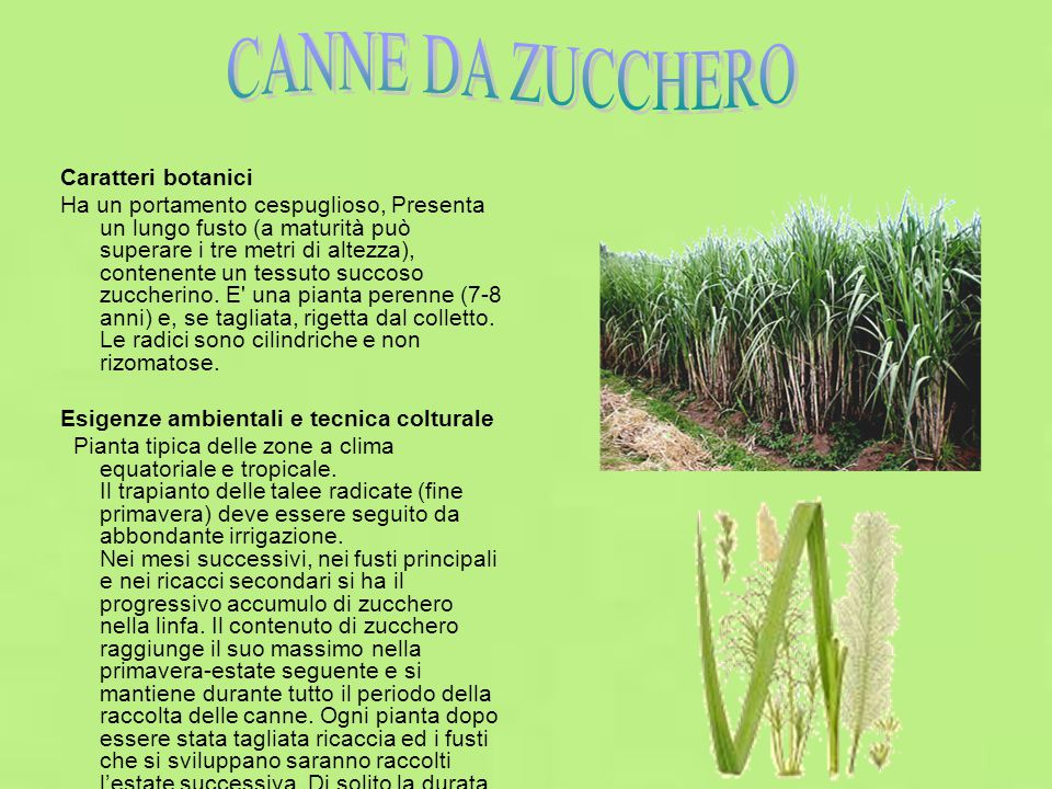 Caratteri botanici Ha un portamento cespuglioso, Presenta un lungo fusto (a maturità può superare i tre metri di altezza), contenente un tessuto succoso zuccherino.