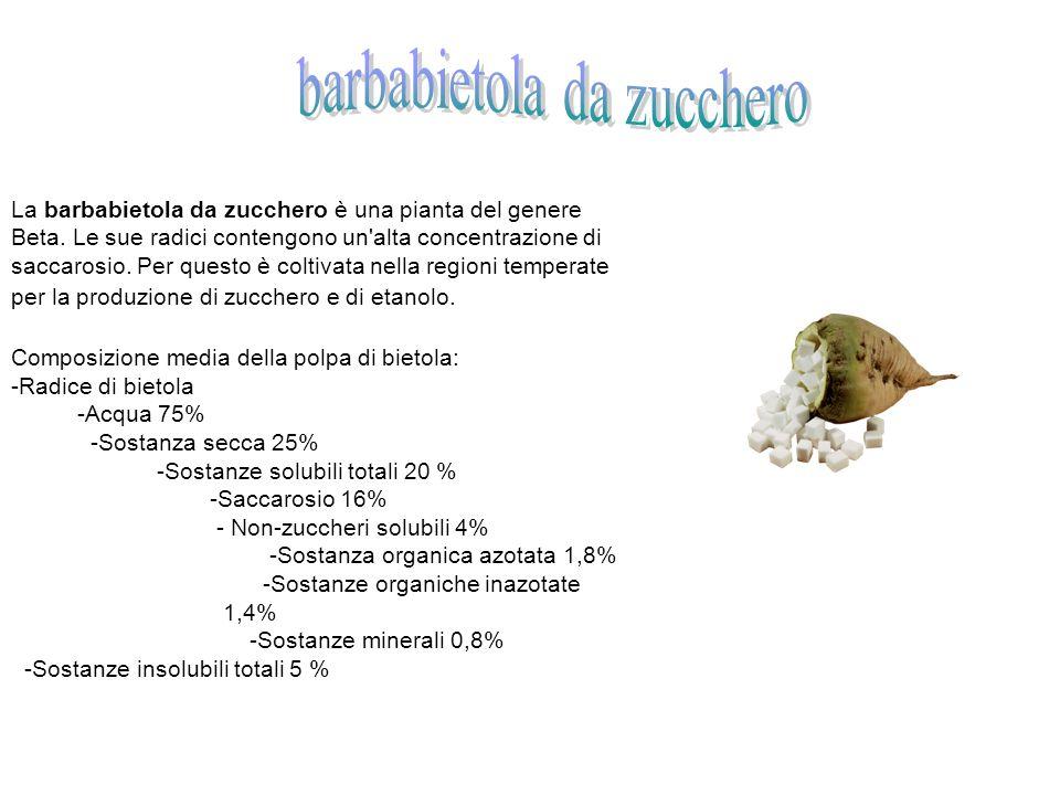 La barbabietola da zucchero è una pianta del genere Beta.