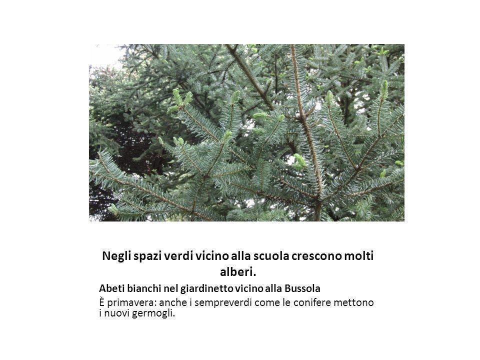 Negli spazi verdi vicino alla scuola crescono molti alberi.