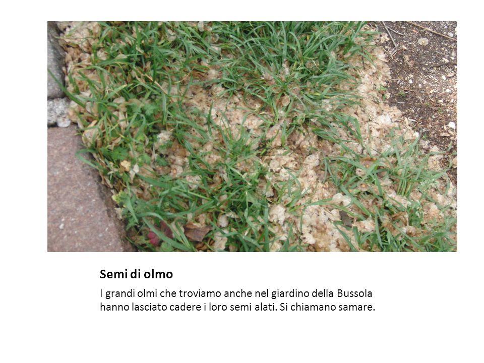 Semi di olmo I grandi olmi che troviamo anche nel giardino della Bussola hanno lasciato cadere i loro semi alati.