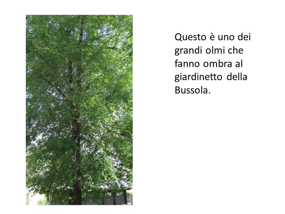 Questo è uno dei grandi olmi che fanno ombra al giardinetto della Bussola.