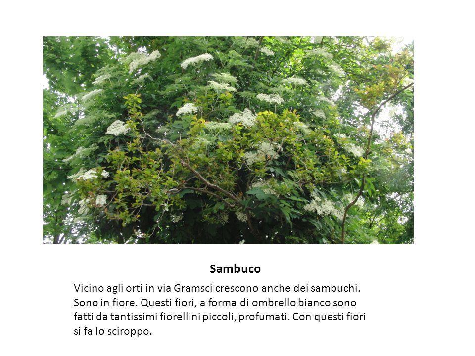 Sambuco Vicino agli orti in via Gramsci crescono anche dei sambuchi.