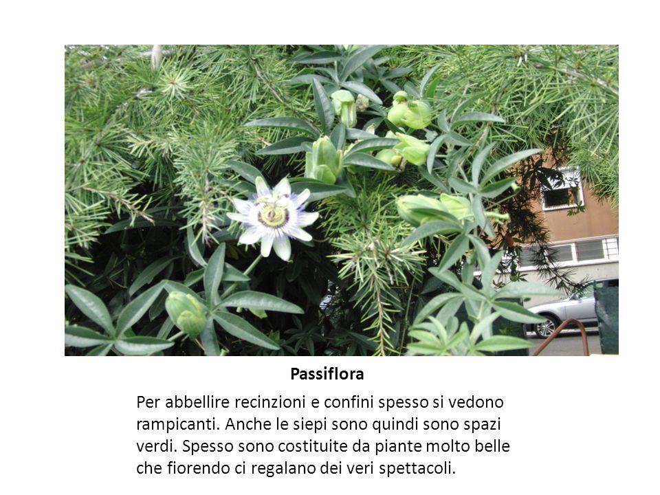 Passiflora Per abbellire recinzioni e confini spesso si vedono rampicanti.