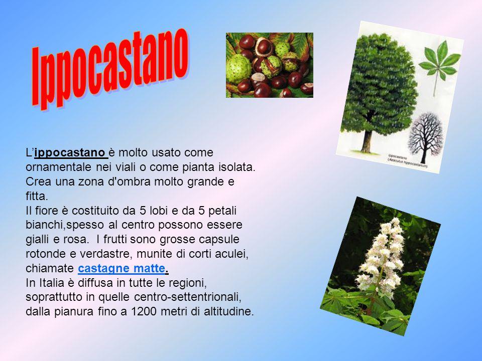 L'ippocastano è molto usato come ornamentale nei viali o come pianta isolata. Crea una zona d'ombra molto grande e fitta. Il fiore è costituito da 5 l