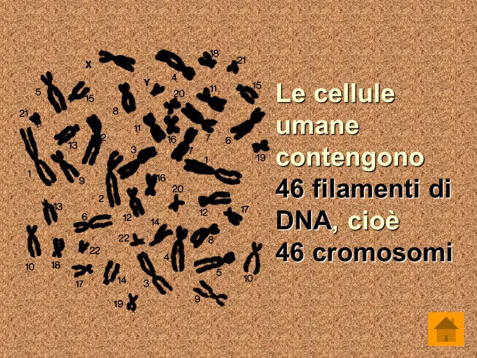 Le cellule umane contengono 46 filamenti di DNA, cioè 46 cromosomi